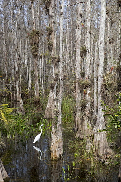 Great Egret (Ardea alba) in swamp, Big Cypress National Preserve, Florida