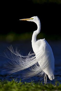 Great Egret (Ardea alba) in breeding plumage, central Florida