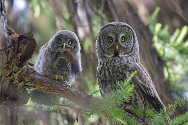 Great Gray Owl (Strix nebulosa) parent feeding owlet squirrel, Yaak, Montana