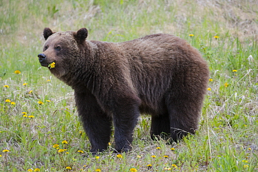 Brown Bear (Ursus arctos) feeding on dandelions, western Canada