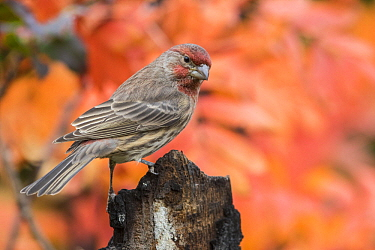 House Finch (Carpodacus mexicanus) male in autumn, Troy, Montana