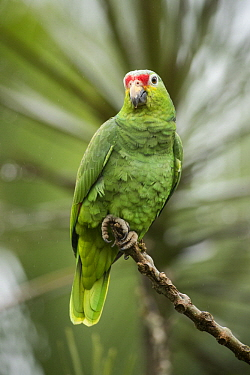 Red-lored Parrot (Amazona autumnalis), Costa Rica