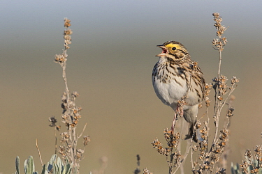 Savannah Sparrow (Passerculus sandwichensis) calling, Montana