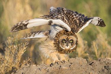 Short-eared Owl (Asio flammeus) stretching, Great Falls, Montana