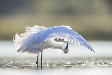 Snowy Egret (Egretta thula) preening, central Florida