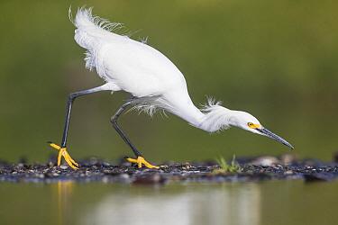 Snowy Egret (Egretta thula) foraging, central Florida