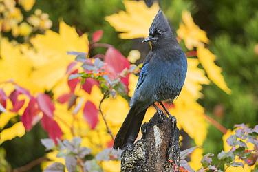 Steller's Jay (Cyanocitta stelleri) in autumn, Troy, Montana