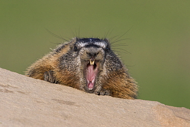 Yellow-bellied Marmot (Marmota flaviventris) yawning, central Montana