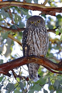 Barking Owl (Ninox connivens), Victoria, Australia