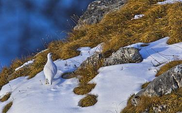 Rock Ptarmigan (Lagopus muta) male in snow, Tyrol, Austria