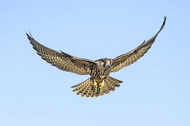 Peregrine Falcon (Falco peregrinus) flying, Texas