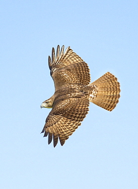 Red-tailed Hawk (Buteo jamaicensis) flying, Texas