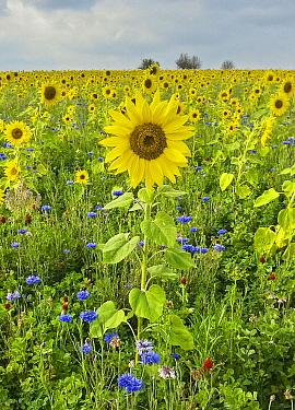 Common Sunflower (Helianthus annuus) and Cornflower (Centaurea cyanus) field, Hesse, Germany