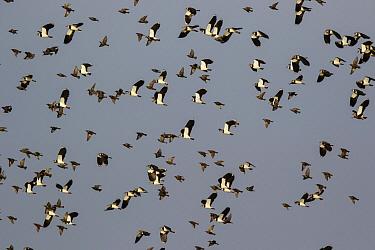 Lapwing (Vanellus vanellus) flock flying, North Rhine-Westphalia, Germany