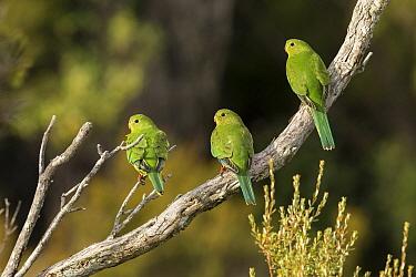 Orange-bellied Parrot (Neophema chrysogaster) juveniles, Tasmania, Australia