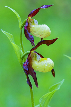 Pink Lady Slipper Orchid (Cypripedium calceolus) flowers, Lower Saxony, Germany
