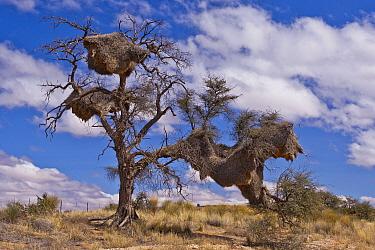 Sociable Weaver (Philetairus socius) nests in tree, Kalahari Desert, Namibia
