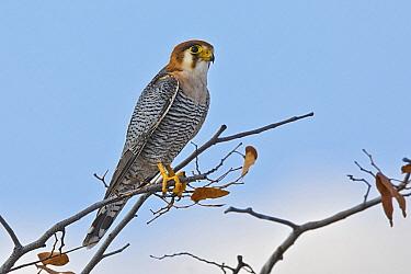 Lanner Falcon (Falco biarmicus), Etosha National Park, Namibia