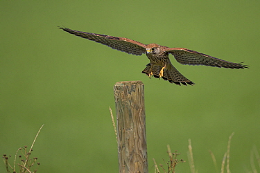 Eurasian Kestrel (Falco tinnunculus) landing, Rhineland-Palatinate, Germany