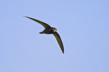 Common Swift (Apus apus) flying, Baden-Wurttemberg, Germany