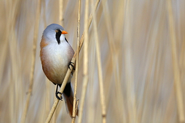 Bearded Tit (Panurus biarmicus) male, Mecklenburg-Vorpommern, Germany