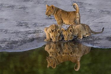 African Lion (Panthera leo) cubs drinking at waterhole, Okavango Delta, Botswana