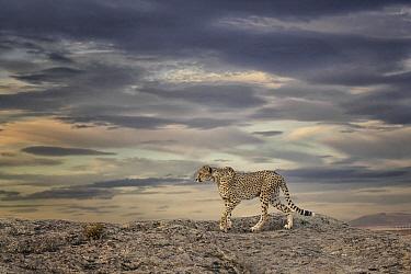 Cheetah (Acinonyx jubatus) on dunes, Castile-La Mancha, Spain