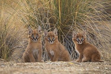 Caracal (Caracal caracal) cubs, Castile-La Mancha, Spain
