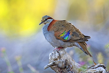 Brush Bronzewing (Phaps elegans) male, Victoria, Australia