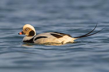 Long-tailed Duck (Clangula hyemalis) male, Finnmark, Norway