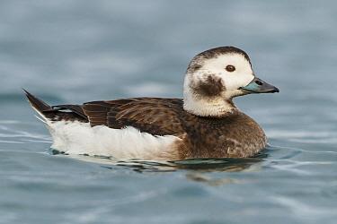 Long-tailed Duck (Clangula hyemalis) female, Finnmark, Norway