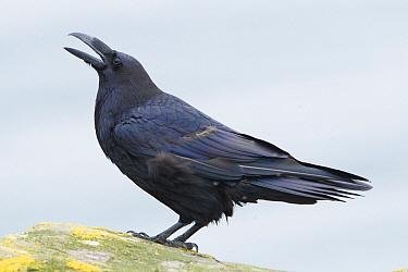 Common Raven (Corvus corax) calling, Finnmark, Norway