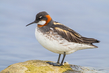 Red-necked Phalarope (Phalaropus lobatus) male, Finnmark, Norway