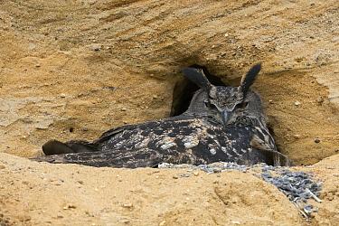 Eurasian Eagle-Owl (Bubo bubo) female, North Rhine-Westphalia, Germany