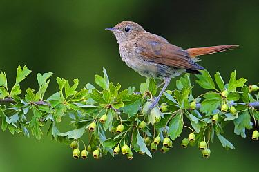 Nightingale (Luscinia megarhynchos) juvenile, Andalusia, Spain