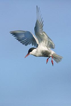Whiskered Tern (Chlidonias hybrida) flying, Victoria, Australia