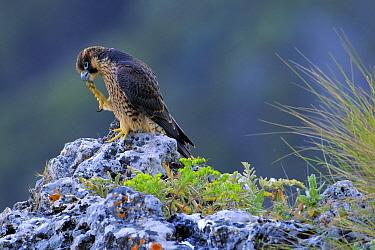 Peregrine Falcon (Falco peregrinus) juvenile cleaning feet, Andalusia, Spain