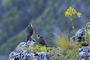 Peregrine Falcon (Falco peregrinus) juveniles, Andalusia, Spain