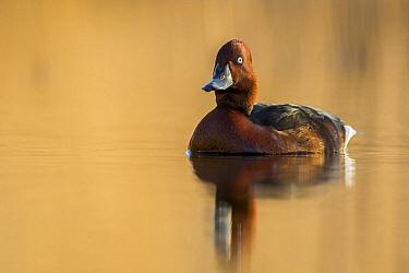 Ferruginous Duck (Aythya nyroca), Krk, Croatia
