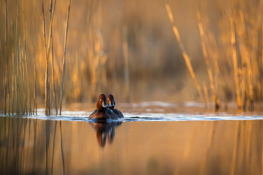 Ferruginous Duck (Aythya nyroca) pair on pond, Krk, Croatia
