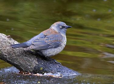 Rusty Blackbird (Euphagus carolinus) at pond, Saskatchewan, Canada