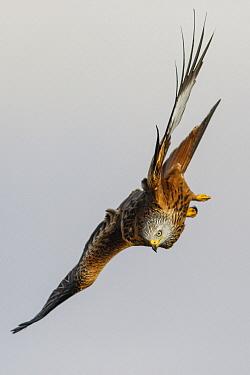Red Kite (Milvus milvus) flying, Castile-Leon, Spain