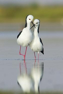 White-headed Stilt (Himantopus leucocephalus) pair courting, Victoria, Australia