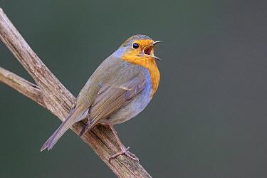 European Robin (Erithacus rubecula) calling, North Rhine-Westphalia, Germany
