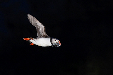 Atlantic Puffin (Fratercula arctica) flying with fish prey, Grimsey Island, Iceland