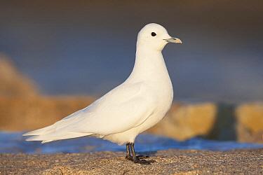Ivory Gull (Pagophila eburnea), Massachusetts