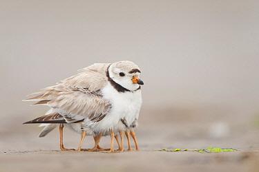 Piping Plover (Charadrius melodus) parent sheltering chicks, Massachusetts