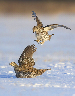 Sharp-tailed Grouse (Tympanuchus phasianellus) males fighting at lek in snow, Minnesota
