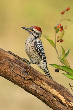 Ladder-backed Woodpecker (Picoides scalaris) male, Arizona