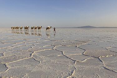 Dromedary (Camelus dromedarius) caravan transporting salt across salt flat, Lake Asale, Danakil Depression, Ethiopia